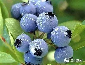 原生态蓝莓采摘 好吃又好玩 订购热线18858687081